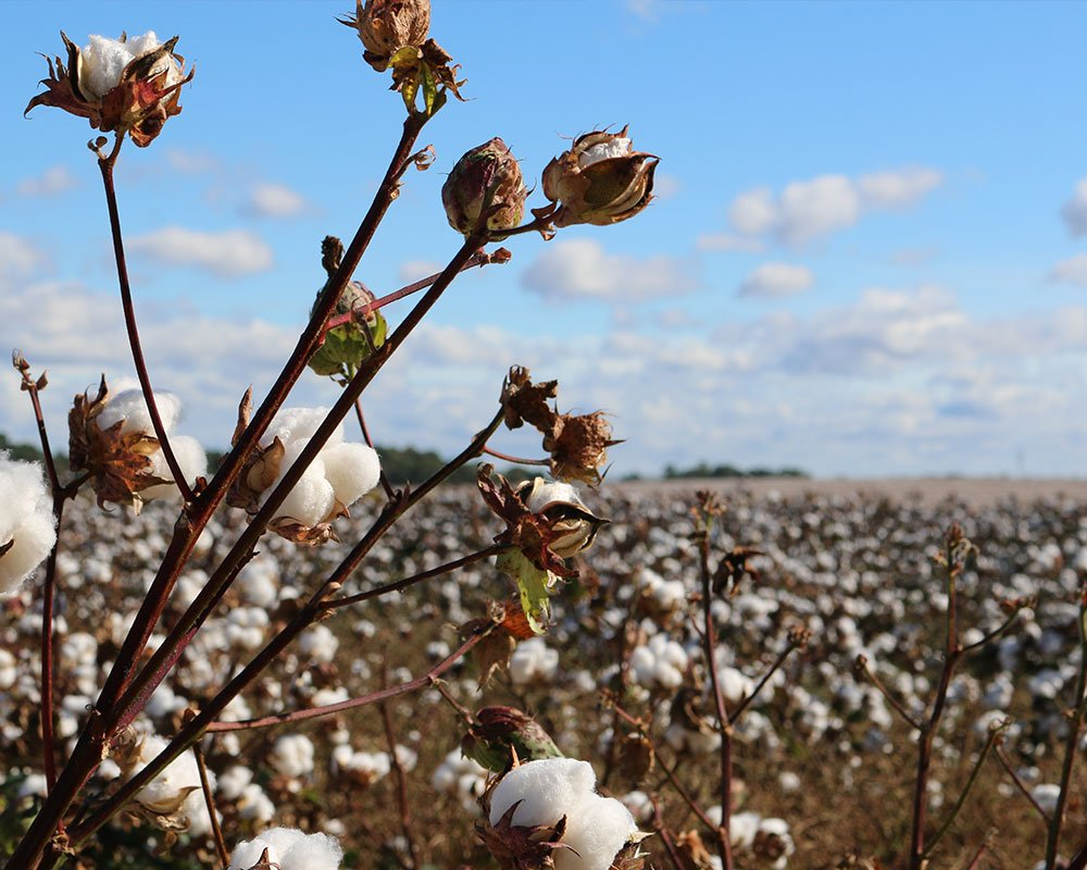 Cotton field, sunny day with blue sky and clouds