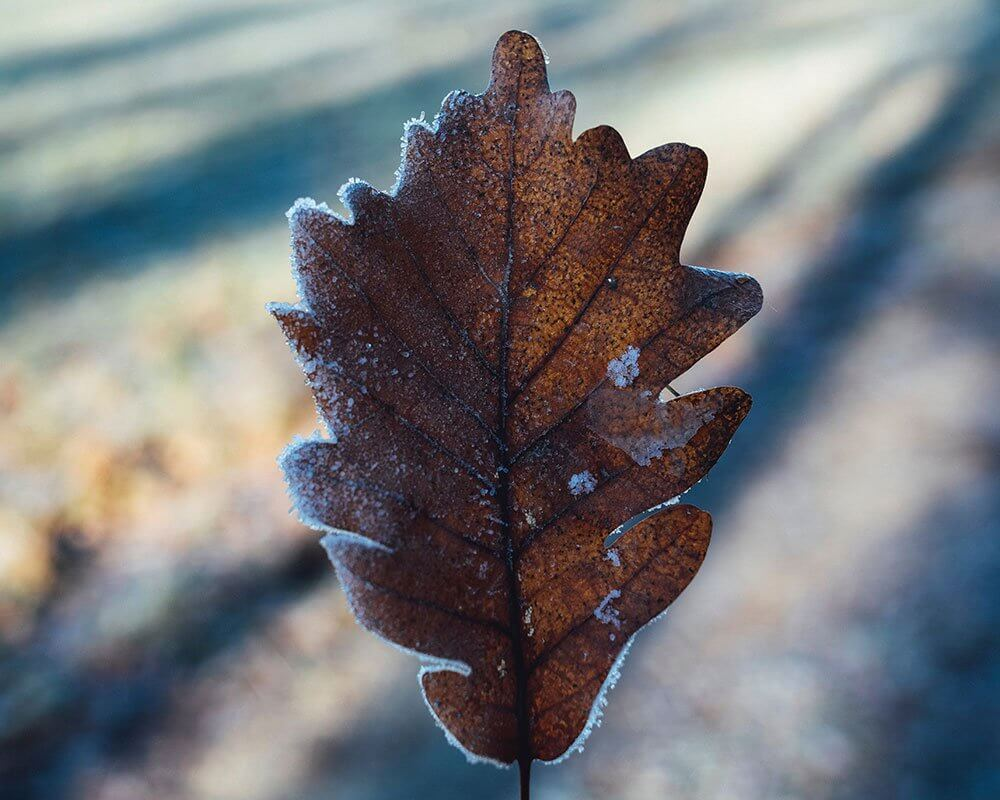 frozen fall leaf