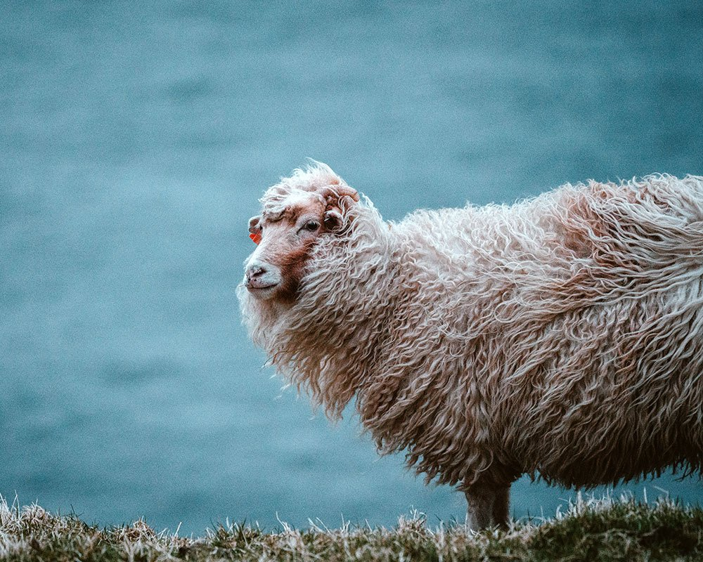 close up of grazing sheep on a mountain prairie
